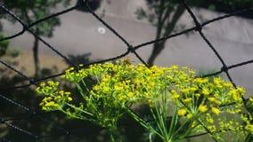2 从前面的野生蜂,得到花蜜,在莳萝花 免版税图库摄影