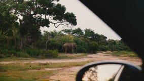 从汽车在徒步旅行队,吃在晴朗的夏天大草原斯里兰卡的大成熟狂放的大象里边的令人惊讶的看法草 股票视频