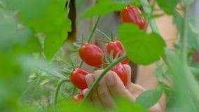 从温室成熟西红柿的布什轻轻地收集的农夫手 股票录像