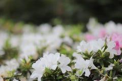 从石南花植物家庭的植物类  库存照片