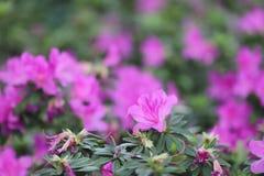 从石南花植物家庭的植物类  库存图片