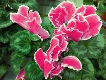 仙客来关闭 宏指令 与水平仙客来的粉色的美好的明亮的背景 报春花科家庭 库存图片