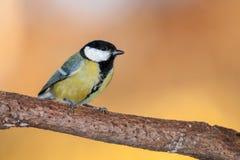 伟大的从森林的山雀帕鲁斯主要,美丽的鸟在欧洲,亚洲和北美洲 库存照片