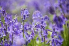 会开蓝色钟形花的草草甸  免版税库存照片