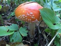 伞形毒蕈秋天危险muscaria蘑菇 库存照片