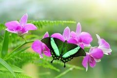 休息开放的热带蝴蝶飞过在紫色兰花花 免版税图库摄影