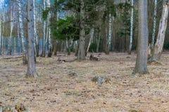 休息在公园的森林里的鹿 库存照片
