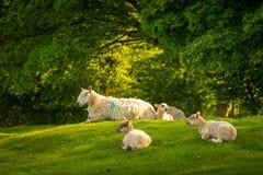 休息在阳光下的绵羊在Dovers小山顶部在切削Campden附近 库存图片