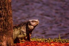 休息和寻找下顿膳食的鬣鳞蜥 库存照片