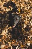 使用在落叶的小狗 库存照片