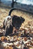 使用在落叶的小狗 免版税图库摄影