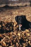 使用在落叶的小狗 免版税库存图片