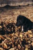 使用在落叶的小狗 免版税库存照片
