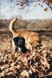 使用在落叶的黑小狗 库存照片