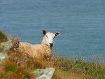 俯视布里斯托尔湾的绵羊 库存照片
