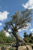 Ä°mmortal Olive Tree Fotografia Stock Libera da Diritti
