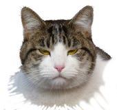 Äcklad katt Arkivfoton