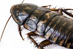 Äcklig closeupbruntkackerlacka Royaltyfri Foto