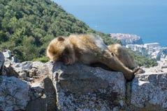 Äffen Sie das Schlafen auf eine Oberseite von Gibraltar-Felsen nach Stockfotografie