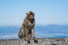 Äffen Sie das Sitzen auf eine Oberseite von Gibraltar-Felsen nach Stockfotografie