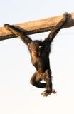 Äffen Sie das Spielen in einem Zoo nach, der von einem Stück Holz mit einem traurigen Ausdruck hängt Stockfotografie