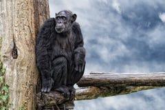 Äffen Sie Schimpanseaffen auf tiefem Hintergrund des blauen Himmels nach Stockfotografie