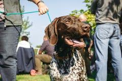 Ägare som rymmer hans hund, tysk shorthaired pekare för brun jakt som är kurzhaar, Arkivfoto