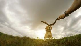 Ägarehund som utbildar hans beaglehund med pinneslomotionvideo lager videofilmer