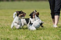 Ägaren går och spelar med många hundkapplöpning på en äng royaltyfria bilder