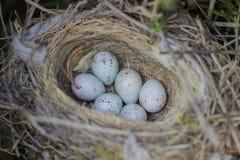 Ägg av den gemensamma hämplingcardueliscannabinaen behandla som ett barn fåglar som lägger i redet i thuja Royaltyfria Bilder