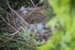 Ägg av den gemensamma hämplingcardueliscannabinaen behandla som ett barn fåglar som lägger i redet i thuja Arkivbilder