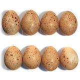 Ägg av Lyrurustetrixen, orre Arkivfoto