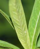 Ägg för monarkfjäril på milkweedbladet royaltyfri fotografi