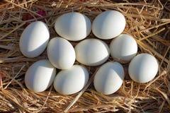 Ägg förlägger på sugröret Royaltyfri Fotografi