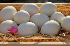 Ägg förlägger på sugröret Picture2 Royaltyfri Fotografi