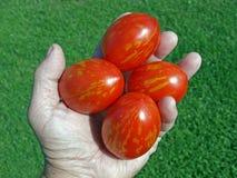 ägg formad tomat Fotografering för Bildbyråer