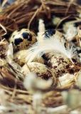 Ägg i ett rede av små ispots för sugrör med fjädrar Royaltyfri Fotografi
