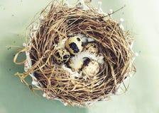 Ägg i ett rede av sugrör är små i fläckar med fjädrar Royaltyfria Bilder