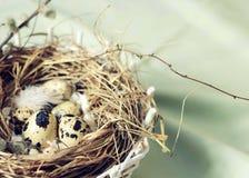 Ägg i ett rede av sugrör är små i fläckar och fjädrar Royaltyfri Bild