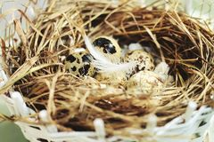 Ägg i ett rede av sugrör är små i fläckar och fjädrar Royaltyfri Foto