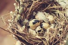 Ägg i ett rede av sugrör är små i fläckfjädrar Royaltyfri Foto