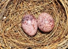 Ägg i fågelredet royaltyfri foto