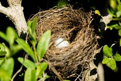 Ägg i redet av en liten fågel på ett träd Royaltyfri Foto