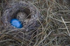 Ägg i redet på bakgrunden av torrt gräs Arkivfoto