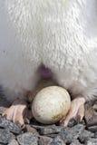 Ägg-lägga, inkubationområde av ‹för †huden och fot för Adeli Arkivfoto