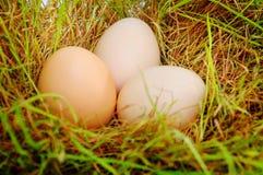 Ägg på ett gräs Arkivbilder