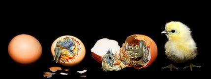 Ägg som kläcker fågelungen Arkivfoto