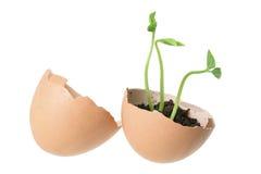 ägget planterar unga skal Royaltyfria Bilder