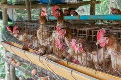 ägghöna för svarta askar Royaltyfri Bild