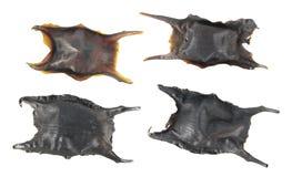 Äggkapsel av en skridsko som kallas också handväska för Sjöjungfru ` s bakgrund isolerad white royaltyfri bild